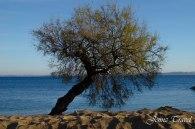 Arbre solitaire sur la plage de Carqueiranne dans le Var - Sud de la France